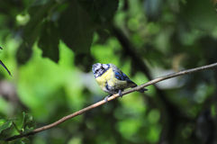Wee Blue-tit perched on a branch. Royalty Free Stock Photos