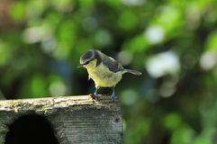 Wee Blue-tit perched ontop of a nest box. Stock Photos