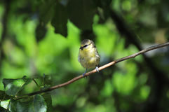 Wee Juvenile Blue-tit perched on a branch. Stock Images