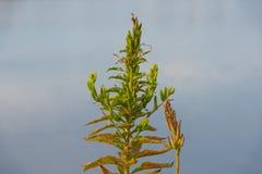 weed Arkivbild