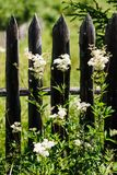 Weed against the old wooden fence. Nature and rustic appearance stock photo