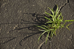 Weed in the Asphalt Stock Photo