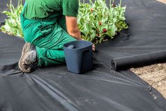 Weed Barrier Sheet. Horticulturist installs special mat which suppress weeds growth Royalty Free Stock Photo
