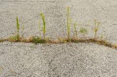 Weed breaks through asphalt. Weeds break through cracks in asphalt road Royalty Free Stock Image