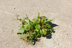 Weed breaks through the concrete. Survival Grass with difficulty breaking through concrete in the urban environment Stock Image