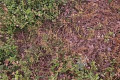 Weed burn down from herbicide effect. Post emergence herbicide Royalty Free Stock Photos