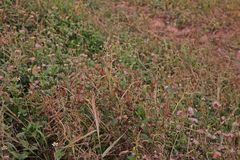 Weed burn down from herbicide effect. Post emergence herbicide Royalty Free Stock Photography