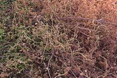 Weed burn down from herbicide effect. Post emergence herbicide Stock Photo