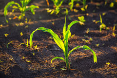 Weed control in corn crops Royalty Free Stock Photography