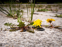 Weed - dandelion growing on a courtyard. Photo shows a dandelion growing in the gap between stones; courtyard at the background Royalty Free Stock Image