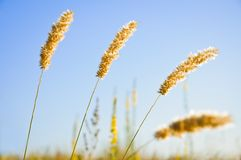 Weed ears against the morning sky background Royalty Free Stock Images