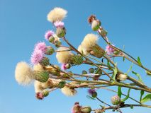 Weed. Field flower. Bodyk field ( armour. Cirsium arvense). Weed. Flower on background of blue sky stock photos