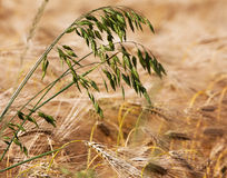 Weed in field of rye Royalty Free Stock Image