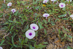Weed flower on dry ground Royalty Free Stock Photography