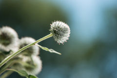 Weed flowers Royalty Free Stock Photos