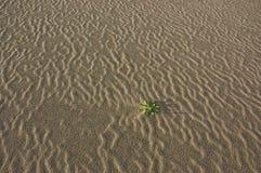 Weed fra le ondulazioni della sabbia del deserto Immagine Stock Libera da Diritti