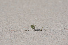 Weed in a gap. Weed growing through a gap Royalty Free Stock Images