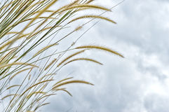 Weed grass Royalty Free Stock Images