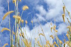 Weed grass Royalty Free Stock Photography