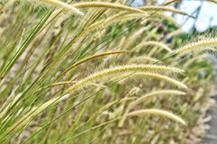 Weed grass Royalty Free Stock Photo