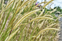 Weed grass. Plant of Weed grass in nature Stock Images