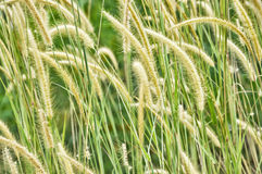 Weed grass Royalty Free Stock Photos