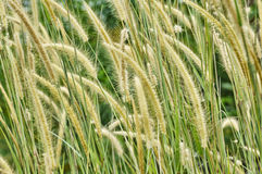Weed grass Stock Photography
