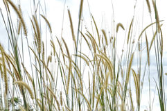 Weed grass. Plant of Weed grass in nature Stock Image