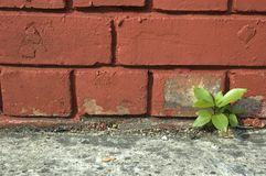 Weed Growing. Out of Brick Wall Royalty Free Stock Photography