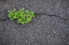Weed growing in asphalt road crack Royalty Free Stock Images