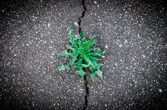 Weed growing in asphalt road crack Royalty Free Stock Photo