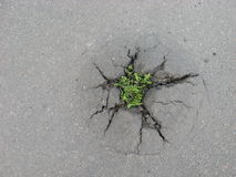 Weed growing through crack in pavement Stock Photography
