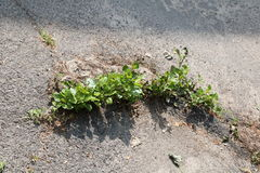 Weed growing through crack in pavement. Green plant growing from crack in asphalt royalty free stock photo