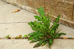 Weed Growing in Crack of  Sidewalk Royalty Free Stock Photography