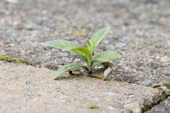Weed growing in the cracks between patio stones Royalty Free Stock Images