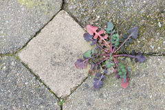 Weed growing in the cracks between patio stones Royalty Free Stock Photos