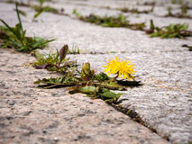 Weed growing in gaps between patio stones. Photo shows weeds - dandelion with yellow flower sprouting between patio stones Stock Photo