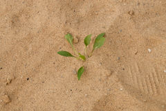 Weed Growing in Sand Royalty Free Stock Photos