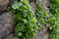 Weed growing on a stony wall stock image
