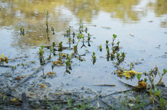 Weed growing through water Royalty Free Stock Photography