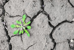 Weed grows in the ground. Dry land texture. Black and white Stock Photos