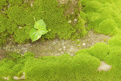 Weed. Grows on the rocks amid moss Stock Photography