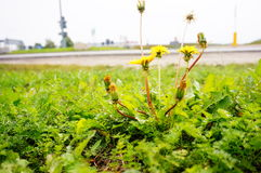 Weed growth Royalty Free Stock Photo