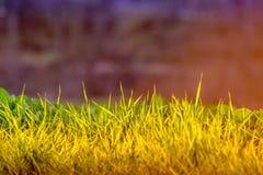 Weed im Sonnenlicht Lizenzfreies Stockbild