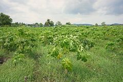 Weed infestation in in papaya production field. Farm management stock image