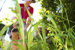 Weed Killer. Green weeds being doused in weed killer by a mature woman gardener Stock Image