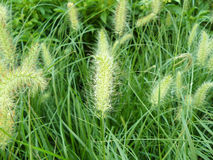 Weed Knotroot foxtail Royalty Free Stock Photography