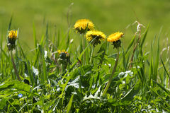 Weed in the lawn, dandelion with yellow flowers Stock Photo