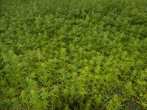 Green canabis on marihuana field farm. Weed leaf on a ganja plantation canabis farm marihuana field stock photography