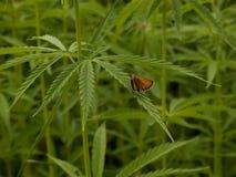 Green canabis on marihuana field farm. Weed leaf on a ganja plantation canabis farm marihuana field stock image